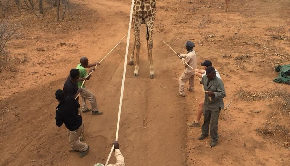 The art and science of giraffe immobilization