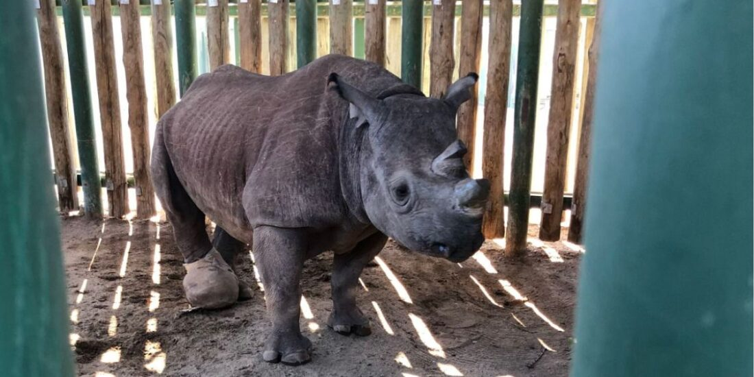 The inspiring story of Goose, the black rhino, who was found in the Kruger National Park with an injured foot.
